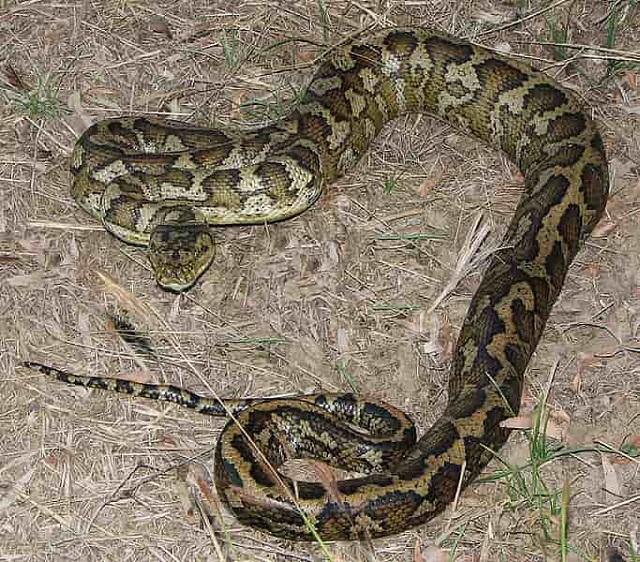 Carpet Viper - aggressive animal