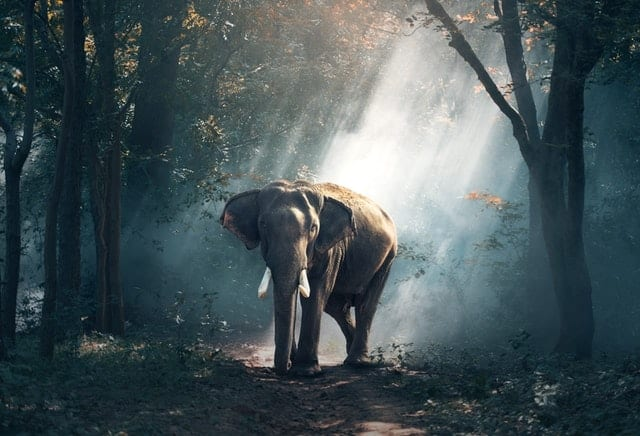 Elephant - aggressive animal