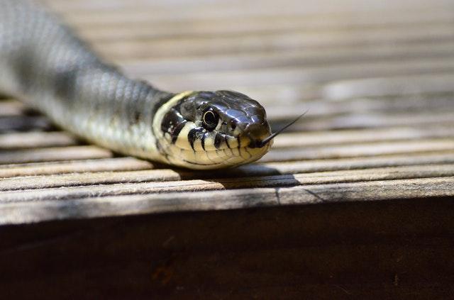 Fierce snake - aggressive animal