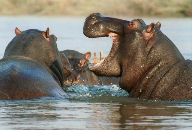 Hippo - aggressive animal