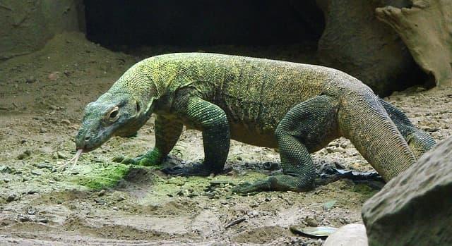 Komodo Dragon - aggressive animal