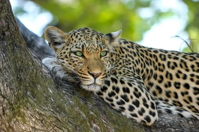 Leopard - most dangerous animals