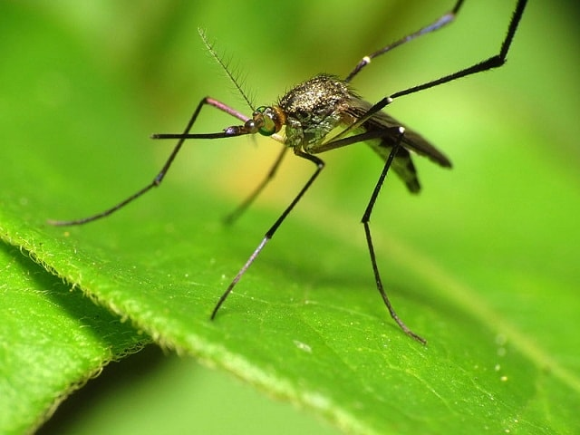 Mosquito - most dangerous animals