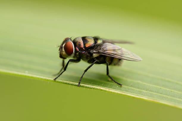 Tse Tse Fly - Deadliest Animals